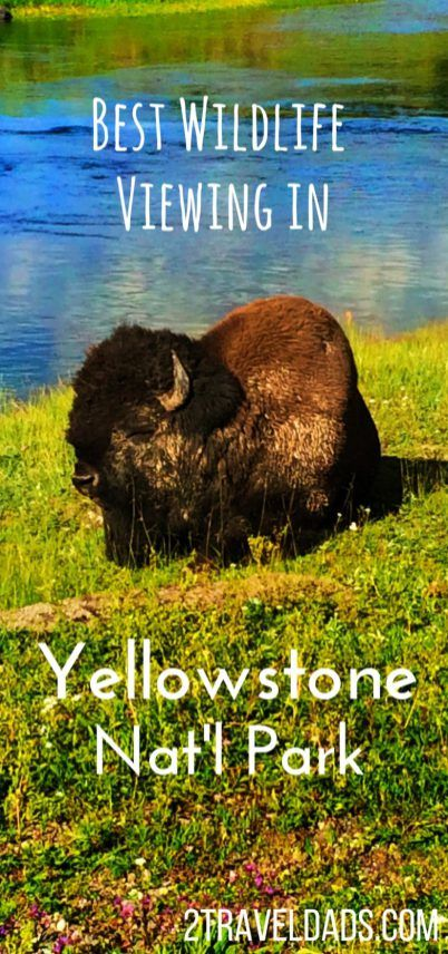 Best Wildlife Viewing in Yellowstone National Park