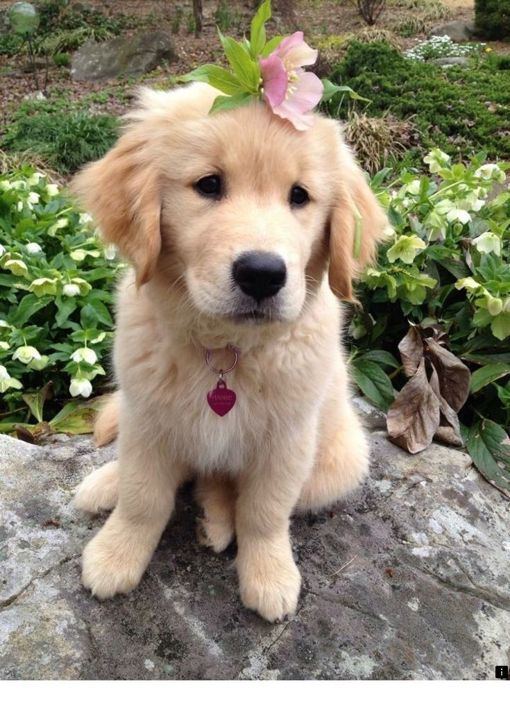 Just Click The Link For More Golden Retriever Puppies Follow The