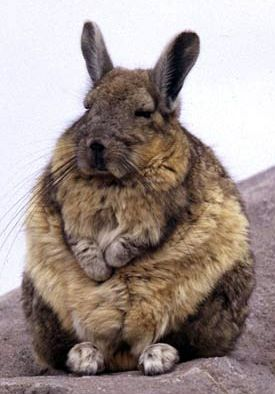 Viscacha They hav e large eyes and ears, and bushy tails that range from short up to about 1/3 the length of the body. The forefeet have four toes, which are used ...