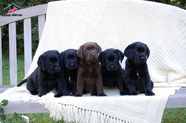 https://www.kopekdunyasi.com/ilan/ingiliz-labrador-yavru-siyah-beyaz-kahve-renklerde  Siyah ve Kahve bende istiyorum :)