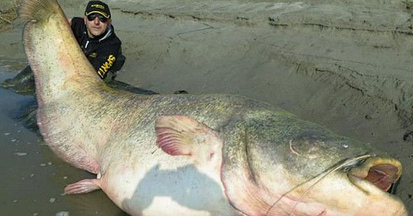 Remains of Nazi Officer Discovered inside 100-Year Old Giant Catfish