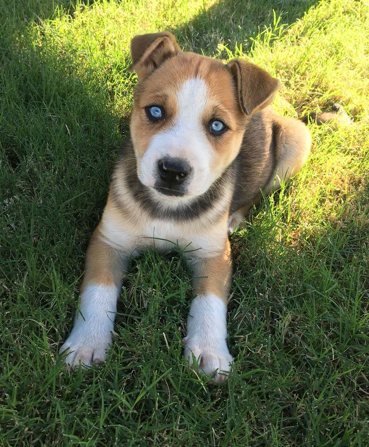 15 Best Jack Russell Terrier Info Breeders Images On