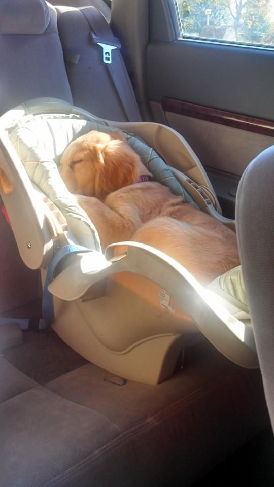 Oh my goodness...I have no words for the cuteness of the picture. Puppy in a car seat!!! AWWW