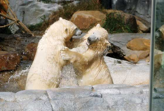 Gorgeous Polar Bears playing at Seaworld Resort & Water Park, Gold Coast