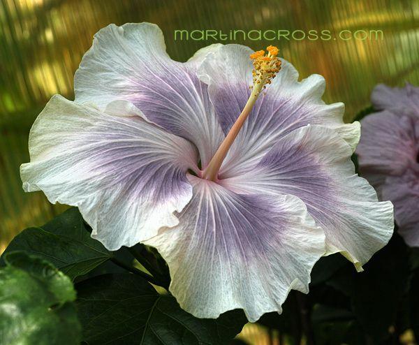 Hibiscus rosa sinensis - Tahitian Princess