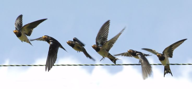 Elegant Montages Show the Beauty of Birds in Flight | A swallow takes off from a wire.   Roy and Marie Battell  | WIRED.com