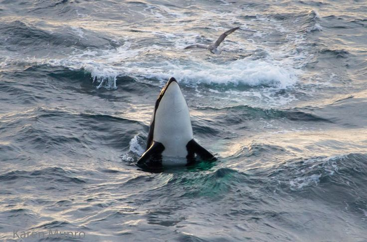Orca sighting off the north coast of Scotland. by Caithness Sea Watching.
