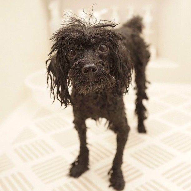 Wet poodle... From @ancoron on instagram