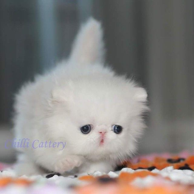 270 best images about persian cats on pinterest persian
