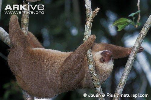 Paresseux à deux doigts ou Unau (Southern Two-toed Sloth, Unau) - Choloepus didactylus / Sous-ordre : Folivora ; Famille : Megalonychidae