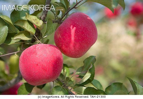 식물 사과 사과나무