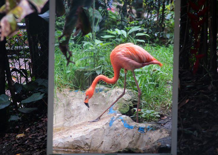 Flamingo - Santa Cruz Zoo, Colombia