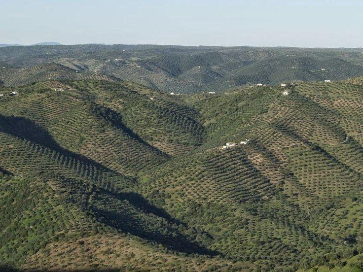 Asaja satisfecha porque más de 500 olivareros de zonas en pendiente sean incluidos en las ayudas de la Junta