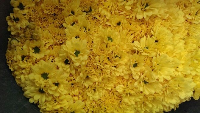 Sprays Daisy yellow