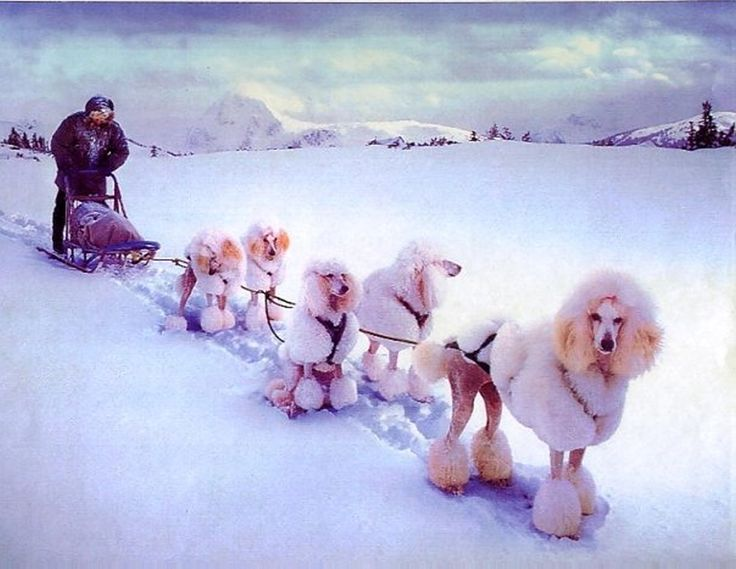 FACT<3 standard poodles were originally sled dogs. ( not a real fact, but…