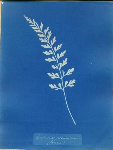 anna atkins essay A little history the cyanotype was the first simple, fully realized, and practical non-silver iron process anna atkins: the first woman photographer.