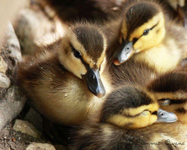 Duck Photography - Snuggly Ducklings - Baby Mallard Ducks - 8x10 Fine Art Photo Print by summerowens on Etsy https://www.etsy.com/listing/125467791/duck-photography-snuggly-ducklings-baby