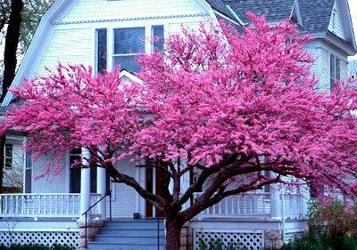 Cercis canadensis, Eastern Redbud,  25 seeds, cold hardy, zones 4 to 10, gorgeous bloomer, magenta blossoms, easy from seed
