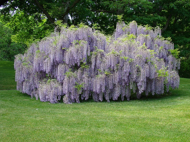 17 best images about weeping trees on pinterest gardens for Weeping garden trees