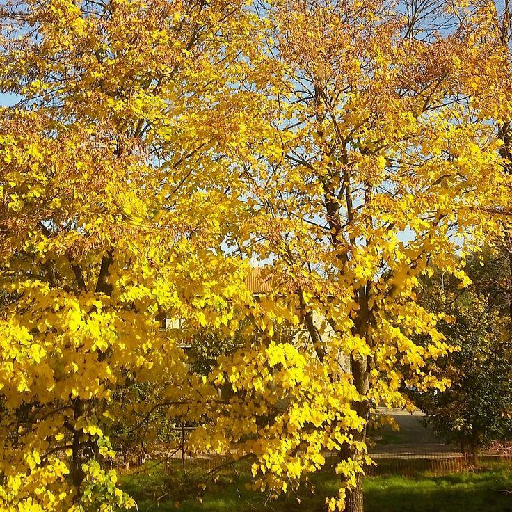 #mobilephotography #instagram #autumn #yellow