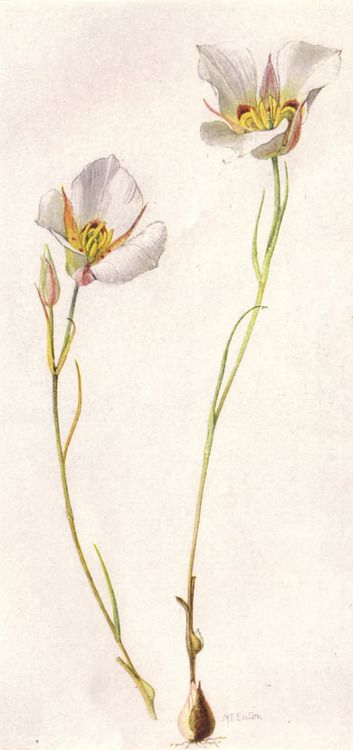 Sego or Mariposa Lily (Chalochortus nuttallii). Painting by Mary E. Eaton.  Taken from 'Our State Flowers' The National Geographical Magazine, June 1917.