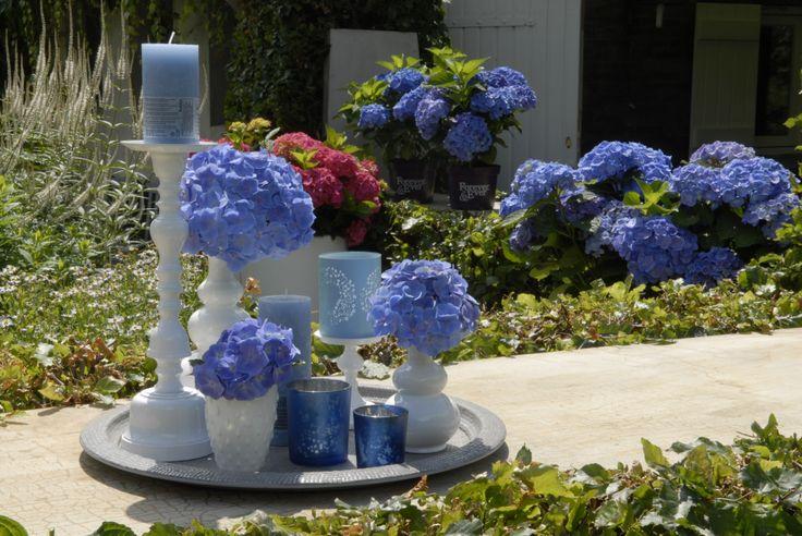 een intens blauwe of paarse kleur kenmerkt de hortensia. Black Bedroom Furniture Sets. Home Design Ideas
