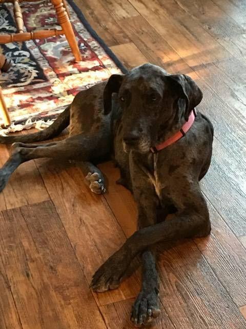 Great Dane dog for Adoption in Bullard, TX. ADN-695349 on PuppyFinder.com Gender: Female. Age: Young
