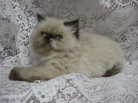 Persian cats toledo ohio