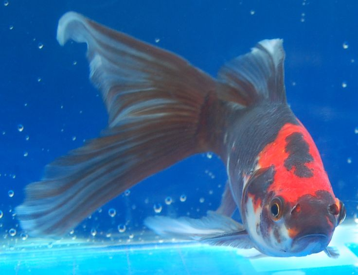 Beautiful goldfish i would like to own midnight for Shubunkin fische
