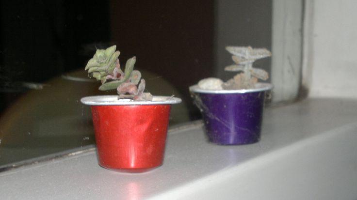 Mini cactus en capsulas de Nespresso