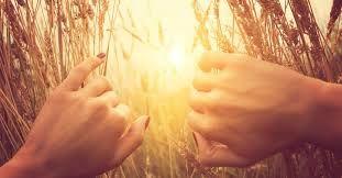 Harvest at sunrise, Ruth