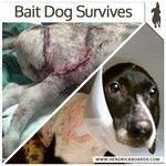 NEVER advertise a dog for free - this one was used as a bait dog - sickening