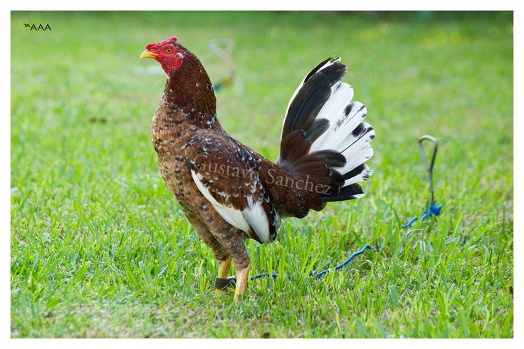 Hennie fowl for sale
