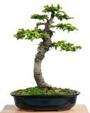 Spruce Bonsai - Download From Over 53 Million High Quality Stock Photos, Images, Vectors. Sign up for FREE today. Image: 1684724