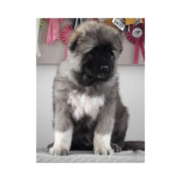 About caucasian shepherd for sale on pinterest caucasian shepherd