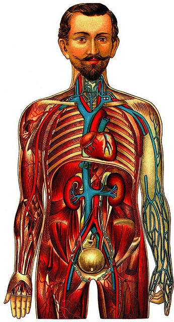 """Anatomical Illustration, """"Images of the Human Body,"""" Pepin Press"""