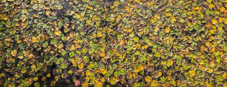 Autumn Lilypads