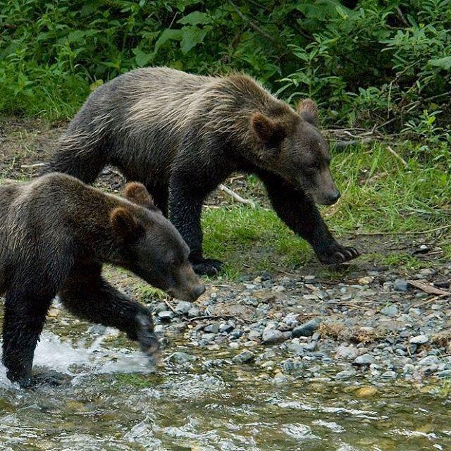 Hyder Alaska.  Yearlings...