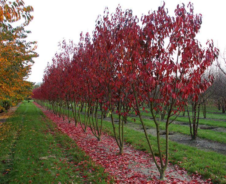Prunus serrulata 'Royal Burgundy' | Ebben multistem trees ...