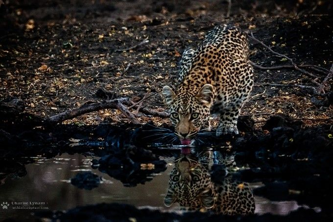 """""""LeopardThirst"""" by charlielynam! Find more inspiring images at ViewBug - the world's most rewarding photo community. http://www.viewbug.com/photo/62147047"""