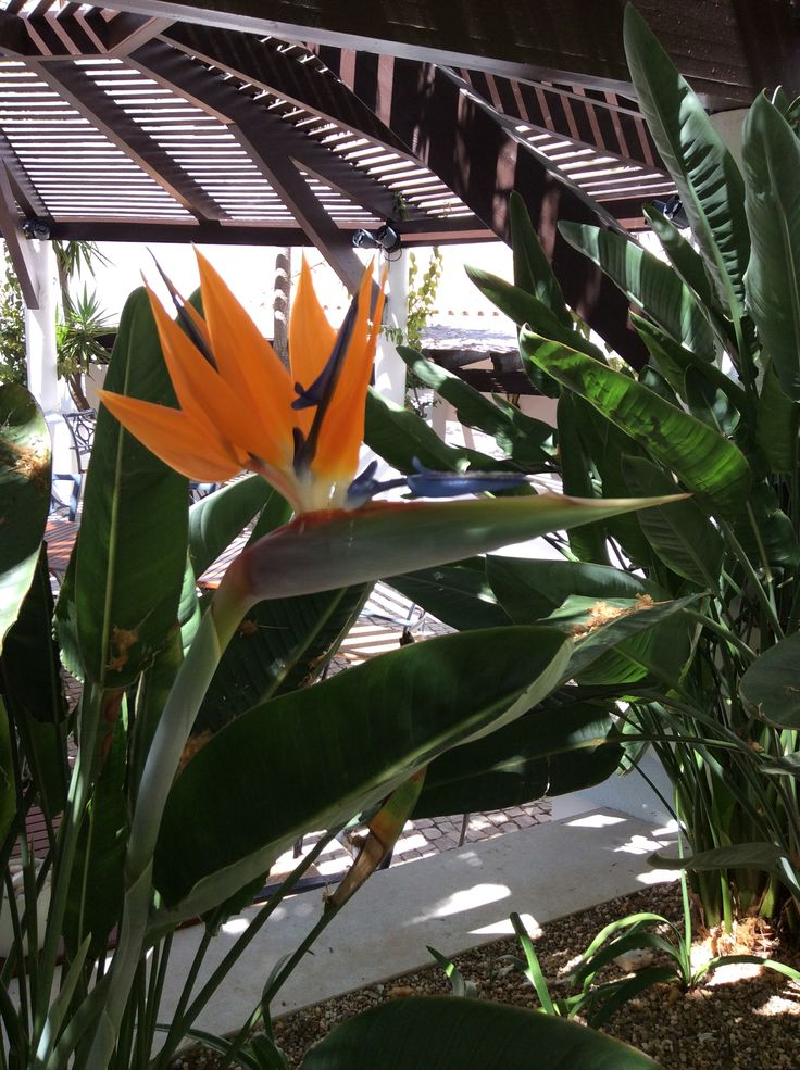 Bird of Paradise has strong leaves and grows to 2 meters. Image taken in the Pine Cliffs Resort's landscaped garden. Book your stay at http://www.greatholidaylocations.com/holiday-accommodation-algarve/albufeira/pine-cliffs-resort-accommodation/pine-cliff
