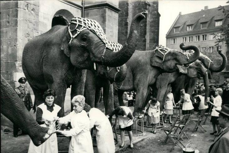 Fußpflege: Einige von Franz Althoffs Elefanten am 11. November 1959 in der Nürnberger Innenstadt bei der öffentlichkeitswirksamen Pediküre. Elf Nürnberger Friseure stellten Mitarbeiterinnen dafür ab, und der Zirkusdirektor sorgte dafür, dass das Ereignis in der Stadt bekannt wurde und Journalisten vor Ort waren. Für solche spektakulären Werbeaktionen war Althoff immer zu haben; mit der Elefantendame Tuffi unternahm er nicht nur die Fahrt in der Schwebebahn, sondern auch Touren in…