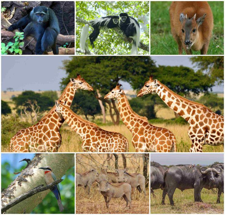 The #MountMeru is famous for its unspoilt nature, where you will encounter the #Giraffes, #Buffalos, #Warthogs, #BlackandWhiteColumbusMonkeys and #Birds. https://zanzibartoursandtravel.jimdo.com/app/flex/blog/preview/129304954