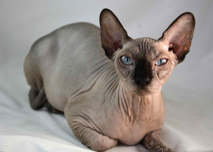 Hairless Cat Breeds For Adoption With Hairless Sphynx Cats For Adoption Hairless Cat Breeds For Adoption Cats