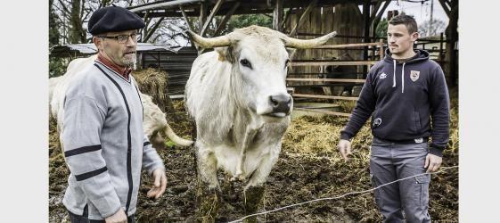 Alain Pérès élève des bovins de race mirandaise, aussi appelés « bœufs gascons aréolés du Gers » (1), ou encore « bœuf nacré de Gascogne ». Alain Pérès a eu l'idée de renouer avec une vieille tradition locale en faisant du saucisson de bœuf et en utilisant une recette ancienne. Son saucisson est additionné de gras de porc noir de Bigorre par le boucher qui le fabrique (La Halle gimontoise). Il est composé de 80 % de viande de bœuf mirandais et de 20 % de gras de porc noir. Et i