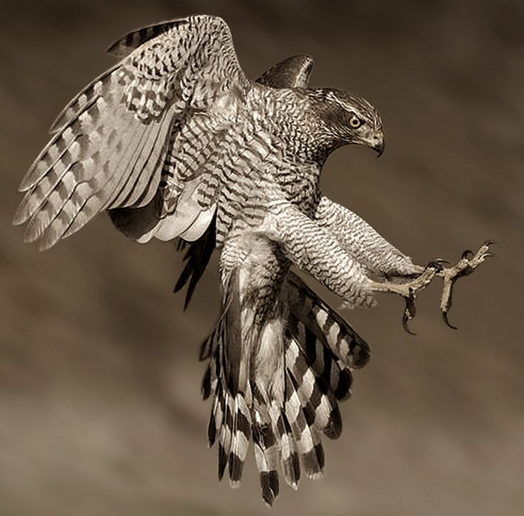 beautiful-wildlife: Goshawk by Ronald Coulter  Ястреб-тетеревятник (Accipiter gentilis)