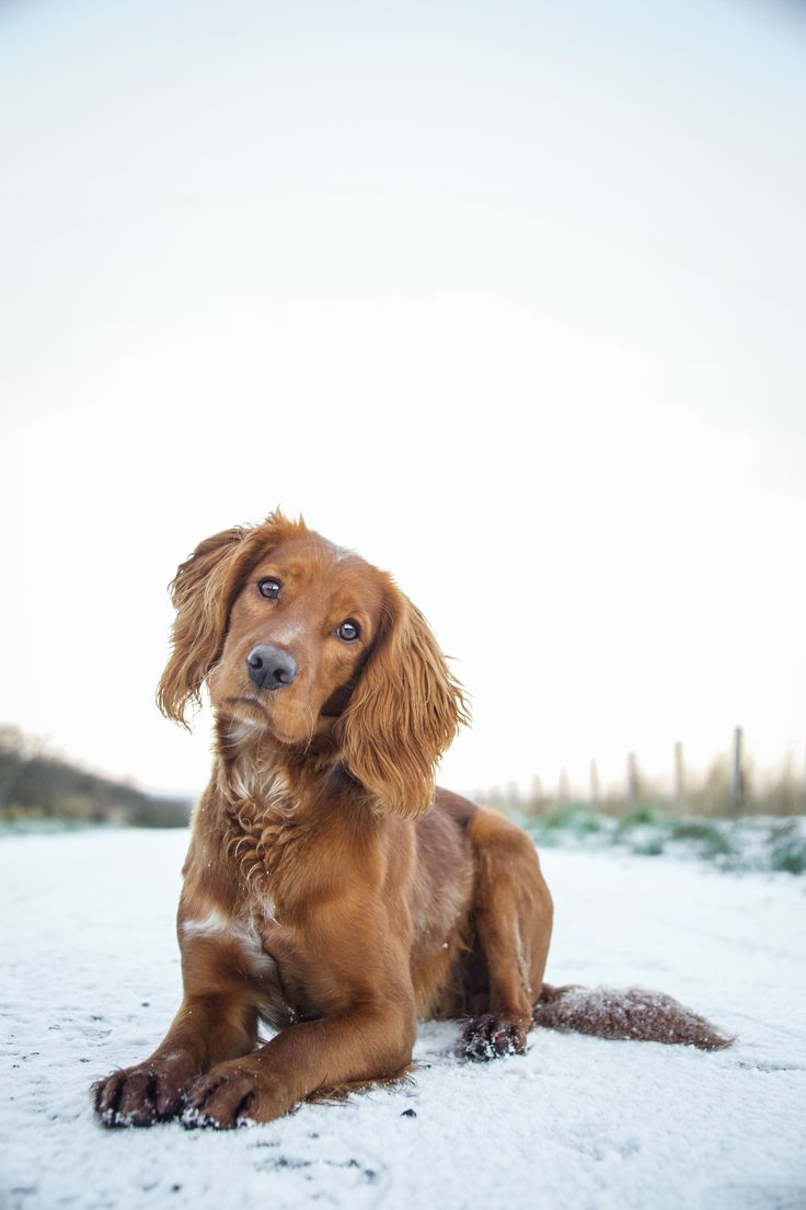 Olly - Working Cocker Spaniel