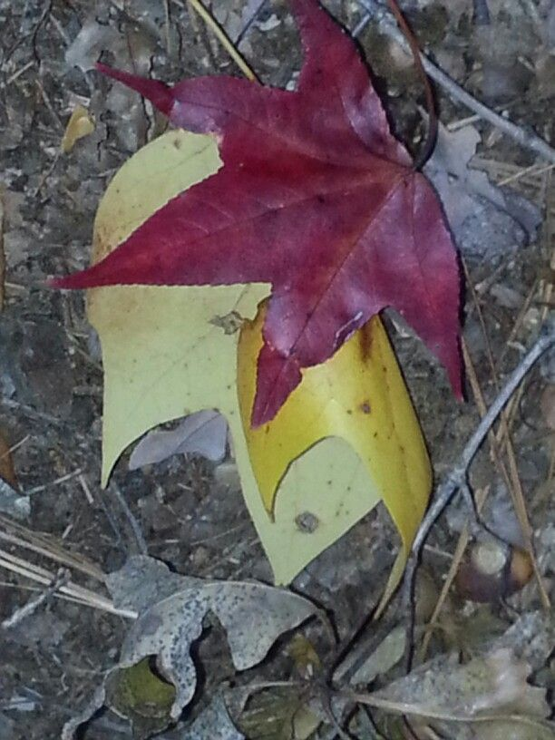 Stacy Poole-fall / red & yellow leaves