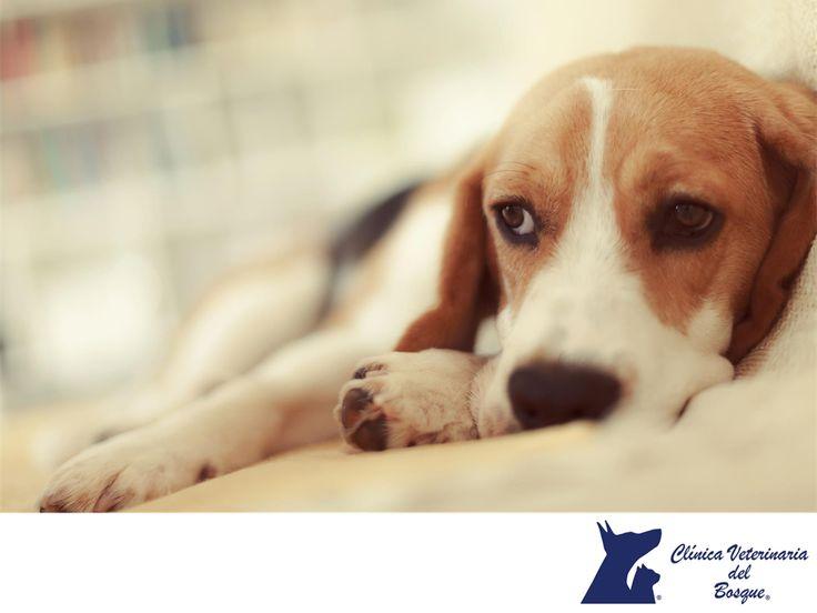 La epilepsia canina. LA MEJOR CLÍNICA VETERINARIA DE MÉXICO. Existen muchas causas que pueden producir epilepsia que se manifiesta con convulsiones, desde intoxicaciones, tumores, hipoglucemia, daños hepáticos y renales; cuando no detectamos estas y otras causas hablamos de epilepsia idiopática. En Clínica Veterinaria del Bosque podemos ayudar a tu mascota. #veterinariadelbosque
