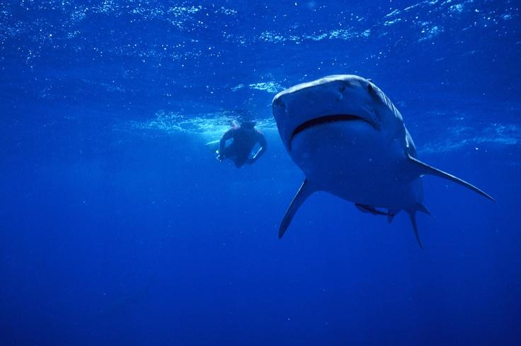 Un plongeur nage près d'un requin tigre. Cette photo est tirée du documentaire « Le requin tigre : Le monstre des océans». #NatGeoWild